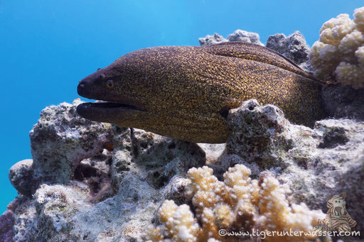 Rußkopfmuräne / yellow-edged moray /Gymnothorax flavimarginatus / Abu Ramada Süd - Hurgada - Red Sea / Aquarius Diving Club