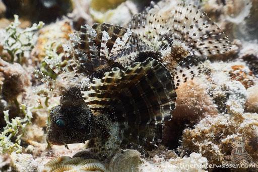 Kurzflossen Zwergfeuerfisch / Shortfin Turkeyfish or Dwarf lionfish / Dendrochirus brachypterus / Sakhwat Abu Galawa - Hurghada - Red Sea / Aquarius Diving Club