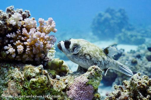 Masken Kugelfisch / masked puffer / Arothron diadematus / Godda Abu Ramada East/West - Hurghada - Red Sea / Aquarius Diving Club