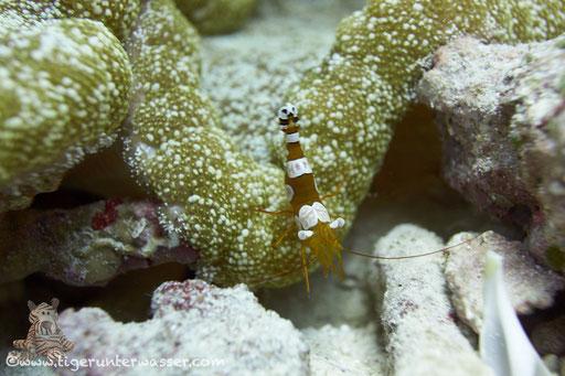 Hohlkreuzgarnele / squat shrimp or sexy shrimp / Thor amboinensis / Fanadir Süd - Hurghada - Red Sea / Aquarius Diving Club