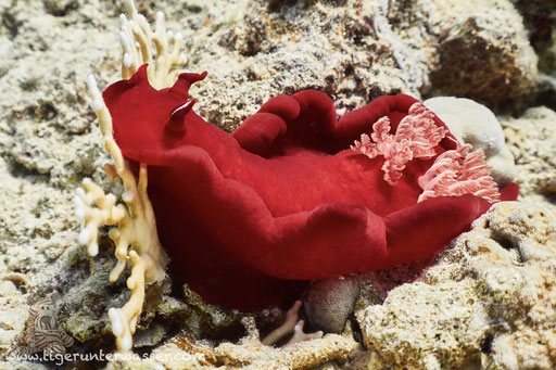Spanische Tänzerin / Spanish Dancer / Hexabranchus sanguineus / Godda Abu Galawa - Hurghada - Red Sea / Aquarius Diving Club