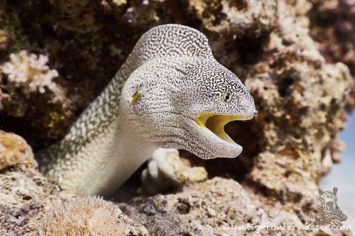 Gelbmaulmuräne / Yellow-mouthed moray eel / Gymnothorax nudivomer / Fanadir Süd - Hurghada - Red Sea / Aquarius Diving Club