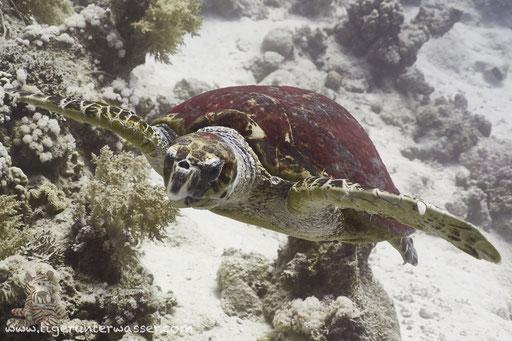 Echte Karettschildkröte / hawksbill sea turtle / Eretmochelys imbricata / Abu Ramada South - Hurghada - Red Sea / Aquarius Diving Club