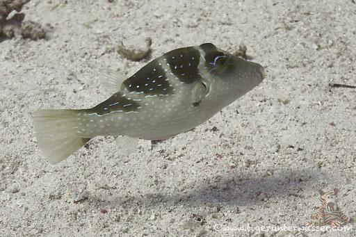 Kronen Spitzkopfkugelfisch / Crowned puffer /  Canthigaster coronata / - Hurghada - Red Sea / Aquarius Diving Club