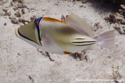 Arabischer Picassodrücker / Picasso triggerfish / Rhinecanthus assasi / Erg Talata - Hurghada -Red Sea / Aquarius Diving Club