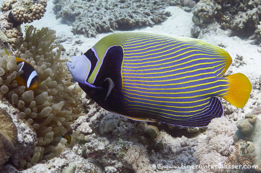 Imperator Kaiserfisch / emperor angelfish / Pomacanthus imperator / Ben El Gebal - Hurghada - Red Sea / Aquarius Diving Club