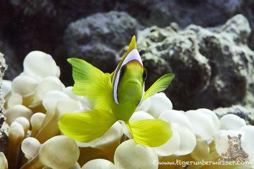 Wenn ich groß bin werde ich ein Schmetterling.../ When I grow up I'll be a butterfly.../ Hurghada - Red Sea / Aquarius Diving Club