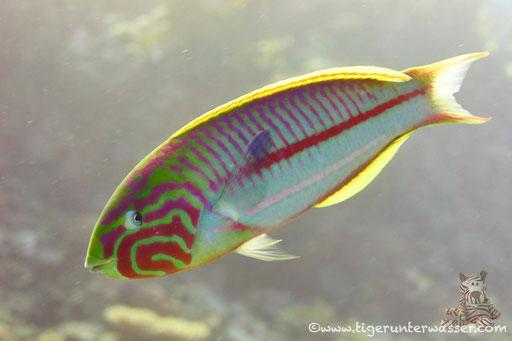 Rotmeer Junker / Klunzinger's wrasse / Thalassoma rueppellii / - Hurghada - Red Sea / Aquarius Diving Club