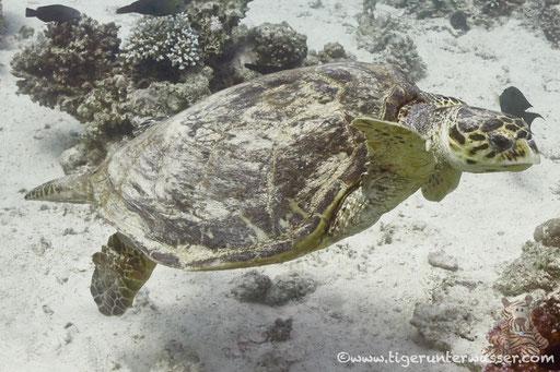 Echte Karettschildkröte / hawksbill sea turtle /  Eretmochelys imbricata / Dolphin House - Hurghada - Red Sea / Aquarius Diving Club