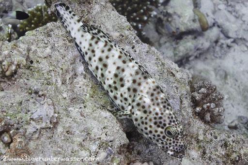 Rostflecken Zackenbarsch / greasy grouper or Arabian grouper / Epinephelus tauvina / Umm Kamar - Hurghada - Red Sea / Aquarius Diving Club