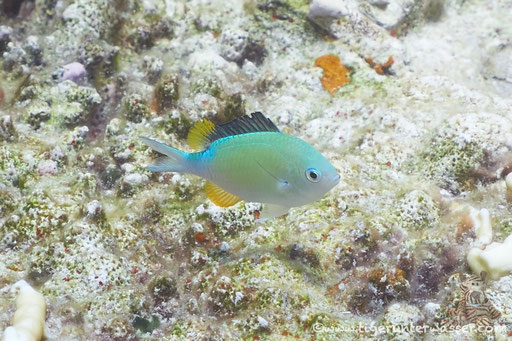 Blaugrüner Chromis - Green Chromis - Chromis viridis / Small Shabaha - Hurghada - Red Sea / Aquarius Diving Club