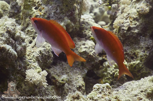 Rotmeer-Fahnenbarsch ♀ Pseudanthias ♀ Pseudanthias taeniatus ♀ Shaab Sabina - Hurghada - Red Sea / Aquarius Diving Club