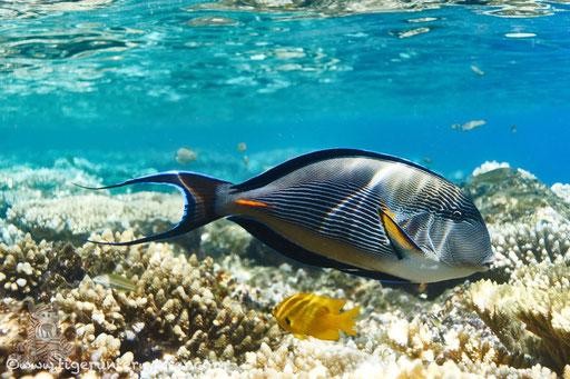 Arabischer Doktorfisch / Sohal surgeonfish / Acanthurus sohal / Godda Abu Ramada East/West - Hurghda - Red Sea / Aquarius Diving Club