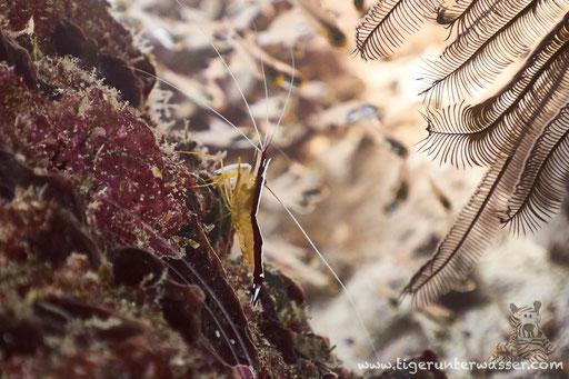 Weißband Putzergarnele / nortern cleaner shrimp / Lysmata amboinensis / Erg Talata - Hurghada - Red Sea / Aquarius Diving Club