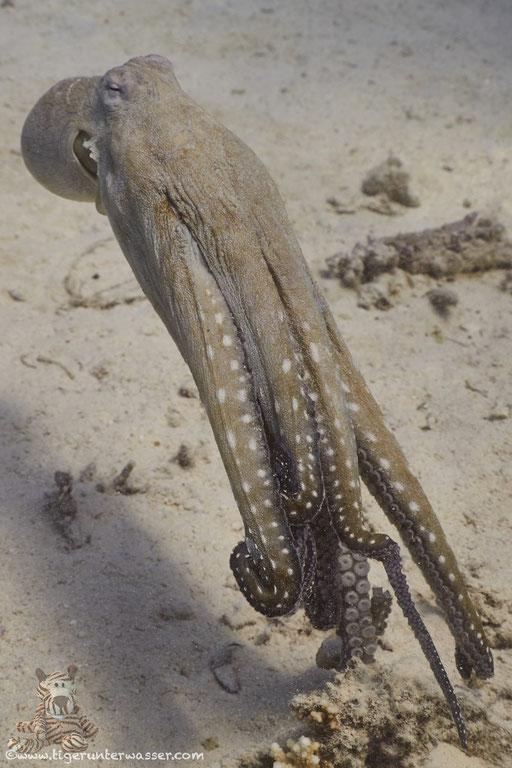 Roter Krake / common reef octopus or big blue octopus / Octopus cyaneus / Disha - Makadi Bay - Red Sea / Aquarius Diving Club
