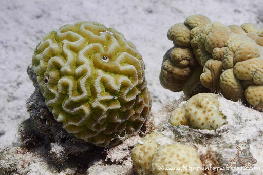 Raue Hirnkoralle / Brain coral / Platygyra daedalea / Fanus West - Hurghada - Red Sea / Aquarius Diving Club