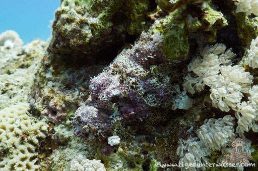 Bärtiger Drachenkopf / bebared scorpionfish / Scorpaeopsis barbatus / Small Giftun - Hurghada - Red Sea / Aquarius Diving Club