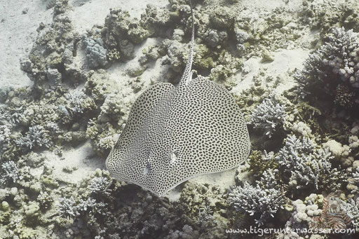 Leopard-Stechrochen / Reticulate Whipray / Himantura uarnak / Small Giftun - Hurghada - Red Sea / Aquarius Diving Club