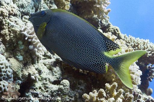Tüpfel Kaninchenfisch / Stellate rabbitfish / Siganus stellatus laqueus / Umm Kamar - Hurgada - Red Sea / Aquarius Diving Club