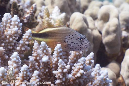 Gestreifter Korallenwächter / black-sided hawkfish / Paracirrhites forsteri / Shaab Sabina - Hurghda - Red Sea / Aquarius Diving Club