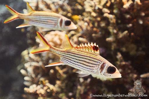 Blutfleckhusar / Spotfin squirrelfish / Neoniphon sammara / Godda Abu Ramada East - Hurghada - Red Sea / Aquarius Diving Club