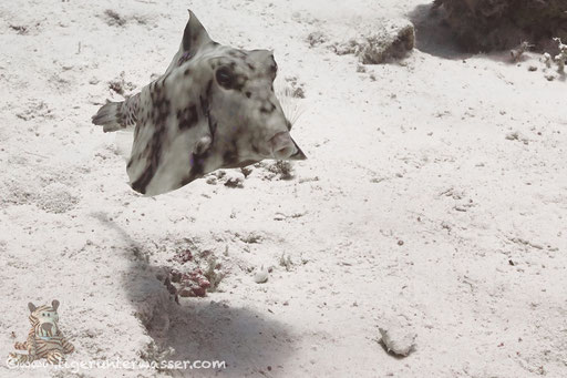 Pyramiden Kofferfisch / humpback turretfish / Tetrasomus gibbosus / Fanus West - Hurghada - Red Sea / Aquarius Diving Club