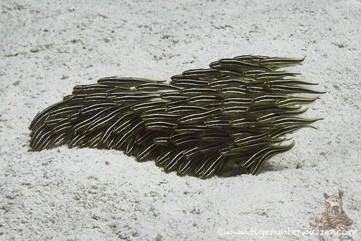 Gestreifter Korallenwels / Striped eel catfish / Plotosus lineatus / Fanus West - Hurghada - Red Sea / Aquarius Diving Club