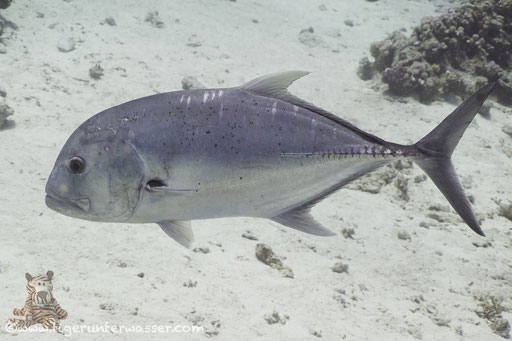 Dickkopf Makrele / giant trevally / Caranx ignobilis /  Godda Abu Ramada East/West - Hurghada - Red Sea / Aquarius Diving Club