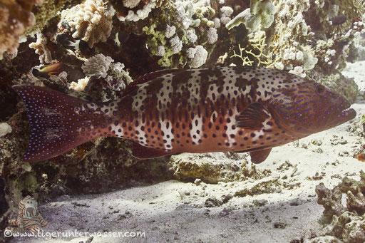Rotmeer Forellenbarsch / Roving Coralgrouper / Plectropomus pessuliferus / Godda Abu Ramada East - Hurghada - Red Sea / Aquarius Diving Club