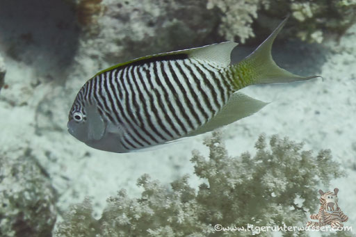 Rotmeer Lyrakaiser / Zebra angelfish m. / Genicanthus caudovittatus / Erg Abu Ramada - Hurghada - Red Sea / Aquarius Diving Club