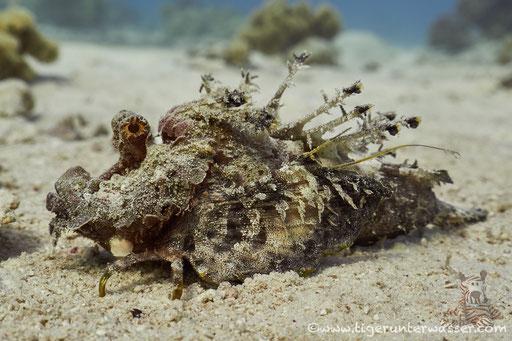 Red Sea Walkman / Devil scorpionfish / Inimicus filamentosus / Godda Abu Galawa - Hurghada - Red Sea / Aquarius Diving Club