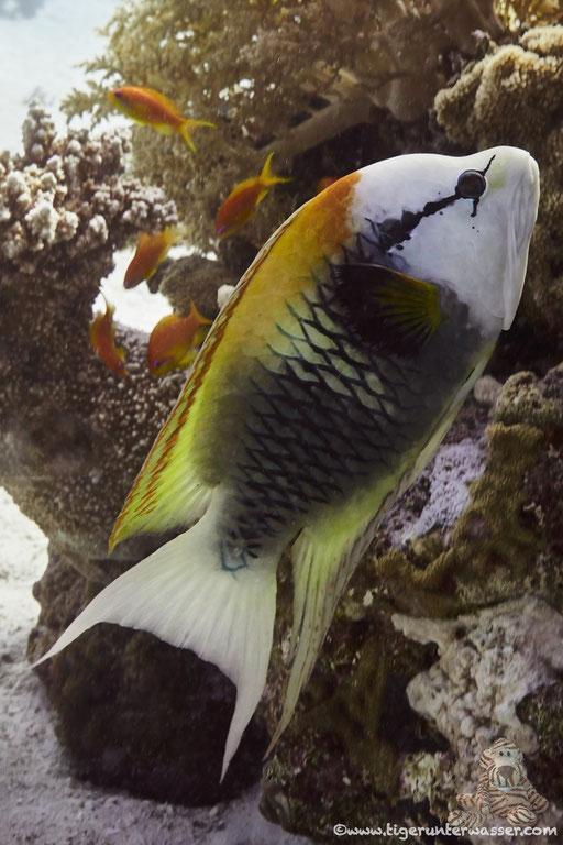 Stülpmaul Lippfisch / sling-jaw wrasse / Epibulus insidiator / Abu Ramada Süd - Hurghada - Red Sea / Aquarius Diving Club
