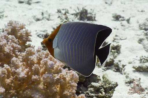 Rotkopf-Falterfisch / Orangeface Butterflyfish / Chaetodon larvatus / Shaab Sabina - Hurghada - Red Sea / Aquarius Diving Club