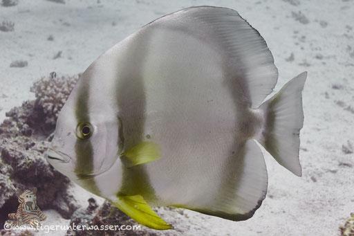 Rundkopf Fledermausfisch / Orbicular batfish / Platax orbicularis / Hurghada - Red Sea / Aquarius Diving Club