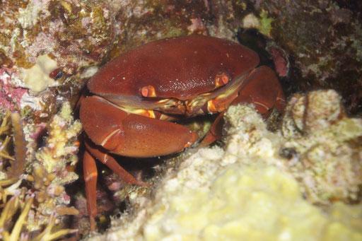 Konvexe Steinkrabbe / convex reef crab / Carpilius convexus / Fanadir North - Hurghada - Red Sea / AQUARIUS Diving Club