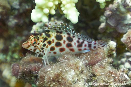 Gefleckter Korallenwächter - Spottet hawkfish - Cirrhitychthys oxycephalus / Erg Talata - Hurghada Red Sea - Aquarius Diving Club