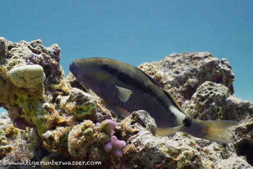 Kurzstreifen Barbe / Band dot goatfish / Parupeneus macronema / Abu Ramada Süd - Hurghada - Red Sea / Aquarius Diving Club