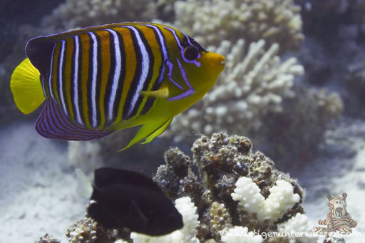 Pfauenaugen Kaiserfisch / royal angelfish or regal angelfish / Pygoplites diacanthus /Godda Abu Ramada East/West - Hurghada - Red Sea / Aquarius Diving Club