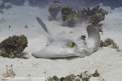 Federschwanz Stechrochen / cowtail stingray / Pastinachus sephen / Disha -Makadi Bay - Red Sea / Aquarius Diving Club