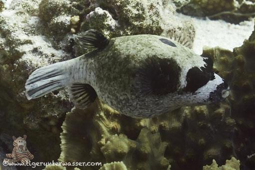 Masken Kugelfisch / masked puffer / Arothron diadematus / Poseidon Garden - Hurghada - Red Sea / Aquarius Diving Club