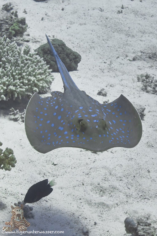 Blaupunkt Stechrochen / bluespotted ribbontail ray / Taeniura lymma / Godda Abu Ramada East/West - Hurghada - Red Sea/ Aquarius Diving Club