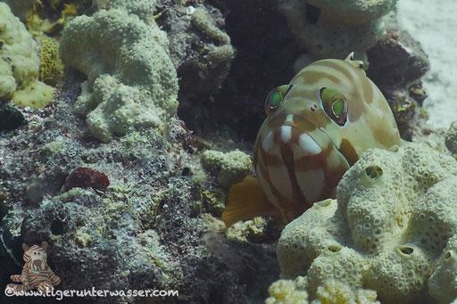 Baskenmützen Zackenbarsch / Blacktip grouper / Epinephelus fasciatus / Errough - Hurghda - Red Sea / Aquarius Diving Club