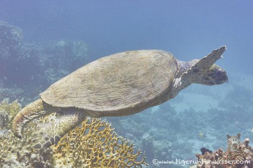 Karettschildkröte Echt? Unecht? / Shaab Sabina - Red Sea - Hurghada / Aquarius Diving Club