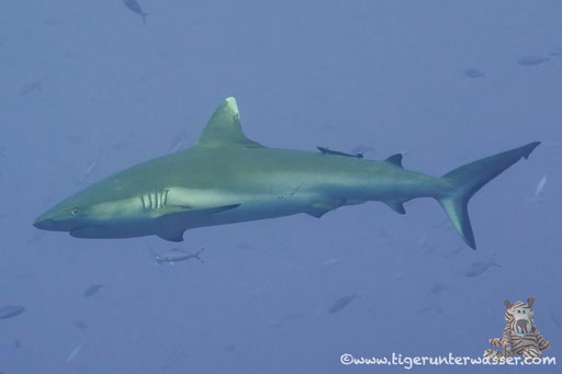 Grauer Riffhai / Grey Reef Shark / Carcharhinus amblyrhynchos / Big Brother - Red Sea / VitaXplorer Aquarius Safari