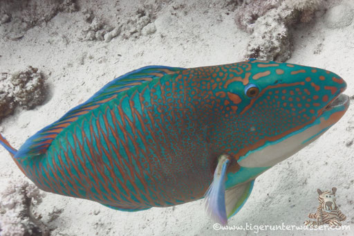 Masken Papageifisch♂ / bicolour parrotfish / Cetosscarus bicolor / Fanus Ost - Hurghada - Red Sea / Aquarius Diving Club
