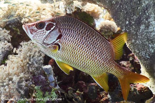 Großdorn Husar / sabre squzrrelfish / Sargocentron spiniferum / Ben El Gebal - Hurghada - Red Sea / Aquarius Diving Club