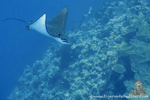Gefleckter Adlerrochen / spotted eagle ray / Aetobatus narinari / Small Giftun - Hurghada - Red Sea / Aquarius Diving Club