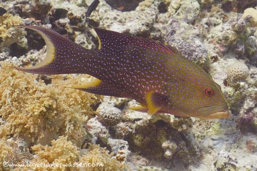 Mondsichel Juwelenbarsch / Yellow-edged lyretail / lyretail grouper - coronation cod / Variola louti / Erg Estha - Hurghada - Red Sea / Aquarius Diving Club