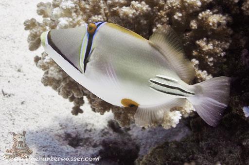 Arabischer Picassodrücker / Picasso triggerfish / Rhinecanthus assasi / Carless Reef - Hurghada -Red Sea / Aquarius Diving Club