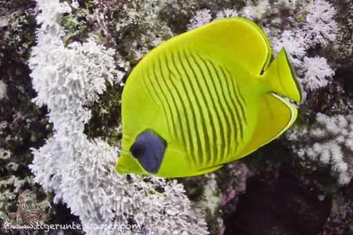 Masken Falterfisch / blue-cheeked butterflyfish / Chaetodon semilarvatus / Hurghada - Red Sea / Aquarius Diving Club